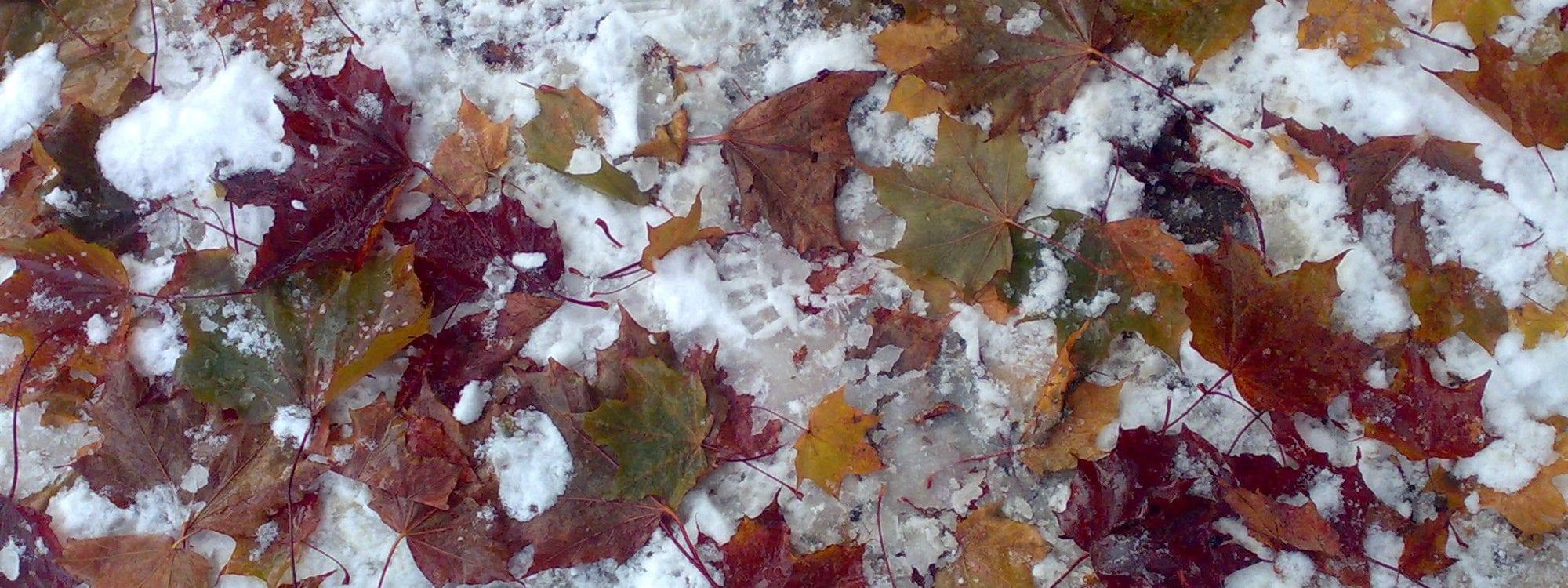 Värikkäät vaahteranlehdet lumella
