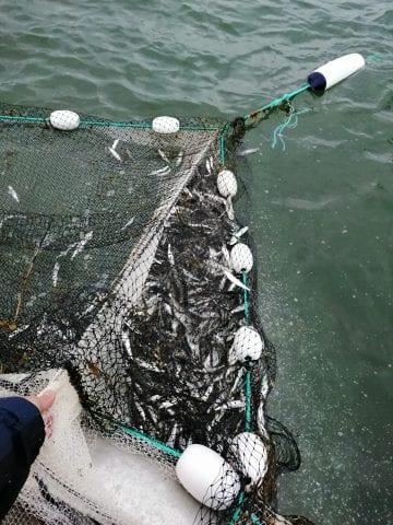Herring trap net catch