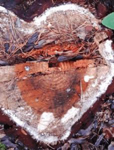 Sydämenmuotoinen kanto metsässä.