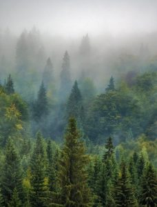 Usvainen metsä.