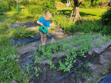 Kuvassa on lapsi kastelemassa kasvimaata