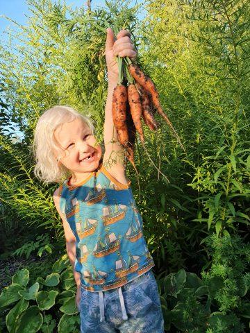 Kuvassa on lapsi ja hänen kädessään maasta nypättyjä porkkanoita