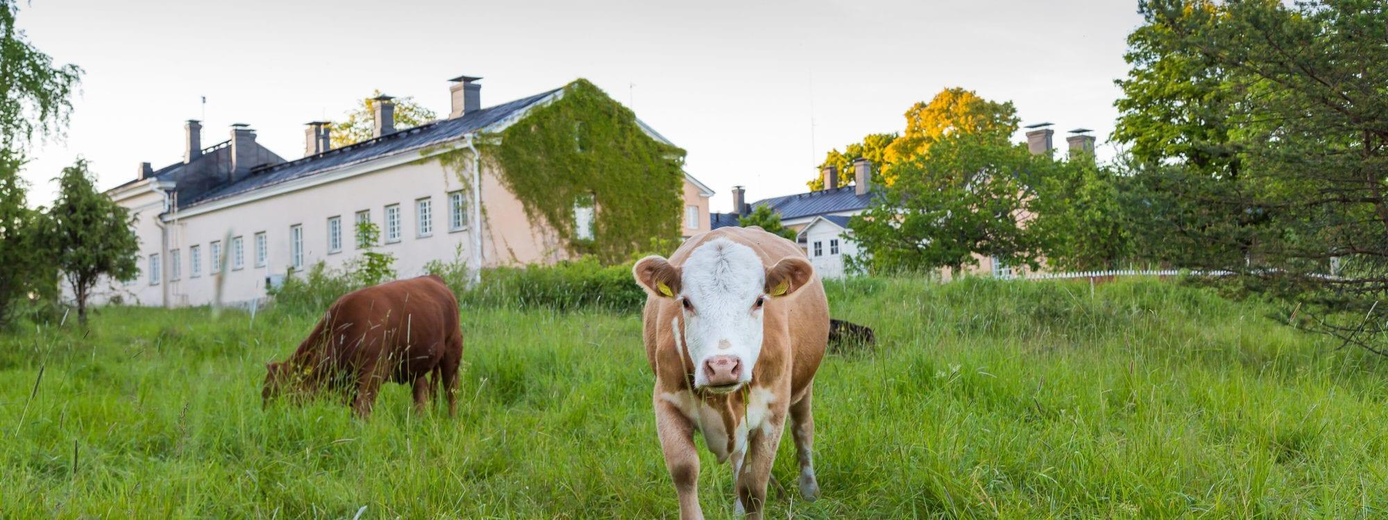 Seili kesällä 2016, lehmät maisemoimassa päärakennuksen ympäristöä.