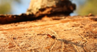 lähikuva: muurahainen kaatuneella puulla